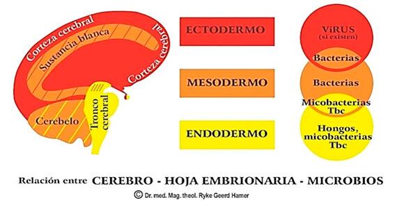 relacion cerebro - hoja embrionaria - microbios